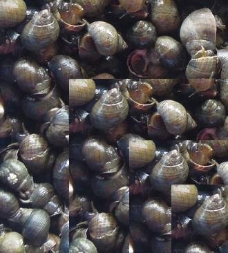 Cuisson bigorneaux